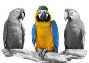 parrotscol